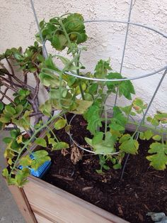 Tomato Disorders - http://www.gardenanswers.com/plant-diseases/tomato-disorders/