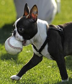 A black and white dog carrying a baseball in its mouth~Boston bull terrier