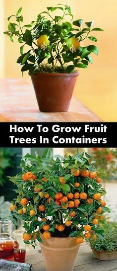 How To Grow Fruit Trees In Containers #Container_gardening