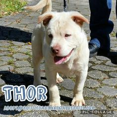 Meet Thor, an adoptable Shar Pei looking for a forever home. If you're looking for a new pet to adopt or want information on how to get involved with adoptable pets, Petfinder.com is a great resource.