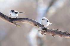 体長は14cm。身体の半分は尾なので、胴体だけでは日本最小の鳥です