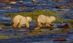 Polar bear cubs foll