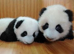 Panda Pals~
