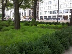 This is the south courtyard at the Art Institute in Chicago.  Its a Carex meadow using Carex bromoides and moments of Carex muskingumensis,