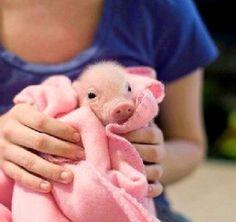adorable teacup pig