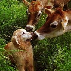 doggie and cows!