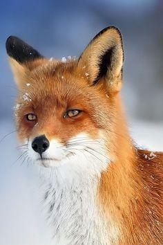 wolverxne:  European Fox - by Foto Foosa