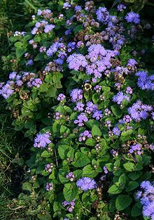 Ageratum houstonianum aka.Flossflower, Bluemink, Garden Ageratum, Blueweed, Pussy Foot......rabbits prefer other plants but will eat anything if hungry enough!