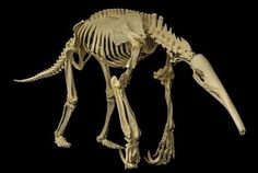 Giant Anteater, a creature still alive to this day. One of the most alien mammals on earth Skeleton Anatomy, Skeleton Bones, Skull And Bones, Animal Skeletons, Animal Skulls, Giant Anteater, Animal Anatomy, Animal Bones, Anatomy Reference