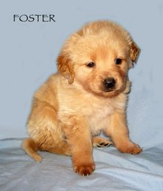 Foster a golden mix in omaha NE