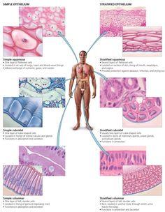 Body Organization and Homeostasis - Biology of Humans