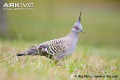crested-pigeon-on-the-ground.jpg (650×433)