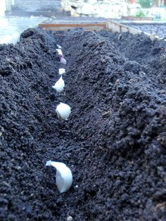 Growing Garlic--must remember for fall!