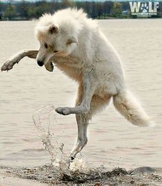 Wolf dance on water