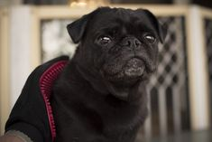 Why You Should Brush Your Pug Every Day http://www.thepugdiary.com/why-you-should-brush-your-pug-every-day/