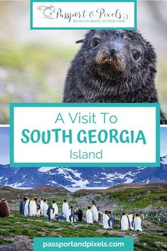 Wildlife Wonders on a South Georgia Cruise Solo Travel, Travel Tips, Travel Destinations, South Georgia Island, Island Holidays, King Penguin, Seal Pup, Local Activities, Once In A Lifetime