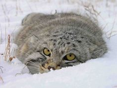 Scientists got unique shots of a manul, a small wild cat, via photo-traps in the Sayano-Shushensky Nature Reserve. Manuls are listed in the Russian Red Data Book and IUCN Red List of Threatened Species. Scientists note that in the last decades the number of manuls in Russia has fallen, mainly due to hunting, trapping and declining food resource.