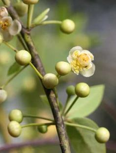 -BLEN: Aromaterapia- May Chang or litsea cubea is another top note in Orange Blossom Eau de Parfum.