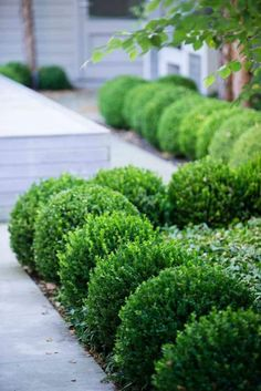 Boxwood Garden Plants In The Yard , Caring Tips For Boxwood Garden Plants In Garden And Landscaping Category