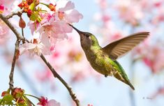 Female Anna's Hummingbird feeding from cherry blossoms in San Diego, California.