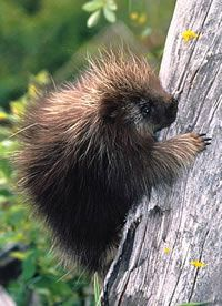 North American Porcupine (Erethizon dorsatum) - Its ancestors rafted across the Atlantic from Africa to Brazil over 30 million years ago, and then invaded North America during the Great American Interchange after the Isthmus of Panama rose 3 million years ago.