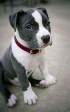 Pit bull puppy. Yes, puppies are cute but there are thousands of wonderful adult pit bills in kill shelter now!