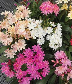 "Lewisia, Elize Mix. Perennial. Part to Full Shade!!!! 6""-8"" Indoor Sow. Blooms early spring -> Autumn. Good for rockeries."