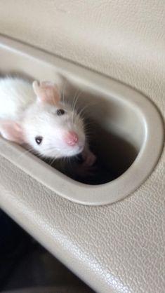 But mum I wanna look out the window too! #aww #cute #rat #cuterats #ratsofpinterest #cuddle #fluffy #animals #pets #bestfriend #ittssofluffy #boopthesnoot