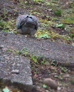 ついついお尻を追いかけちゃう。   #pigeon #bird #鳩 #鳥