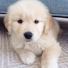 Golden Retriever - Why Are They The Perfect Pets - Doggie Woof Perro Labrador Retriever, Perros Golden Retriever, Golden Retrievers, Retriever Puppy, Cute Puppies Golden Retriever, I Love Dogs, Cute Dogs, Baby Animals, Cute Animals