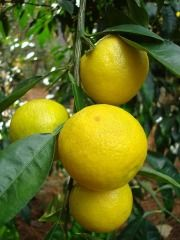 Taichang Lemon, an extremely cold tolerant lemon from China