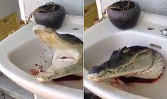 Decapitated crocodile head still snaps its jaws