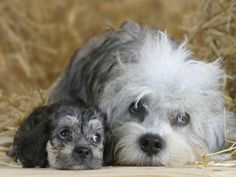Dandie Dinmont Terrier Dog with her Puppy Dandie Dinmont Terrier, Terrier Breeds, Terrier Dogs, Terriers, Cute Puppies, Cute Dogs, Dogs And Puppies, Animals And Pets, Cute Animals