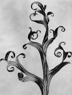 Karl Blossfeldt Photogravures  Delphinium, Larkspur, part of a dried leaf