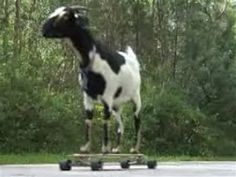 Skateboarding goat sets world record
