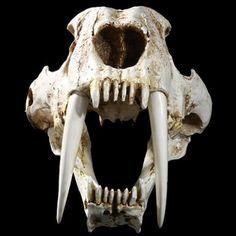 New Resin Animal Saber-toothed Tiger Skull Model Halloween Collection Decor Skull Animal, Tiger Skull, Fox Skull, Animal Skeletons, Skull Art, Skull Reference, Skull Model, Animal Bones, Prehistoric Animals