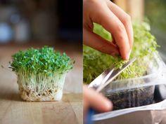 Salată proaspătă crescută pe pervaz în doar 12 zile! Trebuie inclusă în meniul zilnic al fumătorilor și al persoanelor care suferă de boli oncologice! - Retete Usoare
