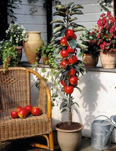 Jabłoń na balkonie e-ogrody