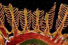 Danio rerio (zebrafish) gill branches | 2000 Photomicrography Competition | Nikon Small World