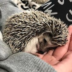 35 Pictures Of The Cutest Hedgehog You Will See Today When his owners first picked him up from the breeder, this African Pygmy named Rick was very restricted… Happy Hedgehog, Cute Hedgehog, Hedgehog Names, Beautiful Creatures, Animals Beautiful, Unique Animals, Cute Baby Animals, Funny Animals, Wild Animals