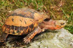 Cuora g. galbinifrons - Nordvietnamesische Scharnierschildkröte - Northern Vietnamese box turtle by Kowari, via Flickr