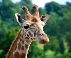 A giraffe at Longleat Safari Park
