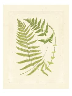 Ferns with Platemark V Art Print at Art.com