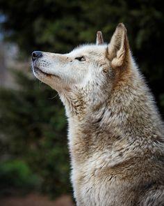thatwanderinglonewolf: May 2014_121 (by kdc123)
