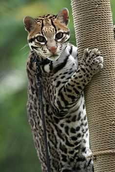Ocelot - This feline jewel lives in southern Texas, Mexico, Central America, and South America.