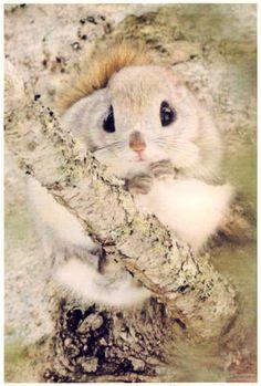 木の上のエゾモモンガ Cute Funny Animals, Cute Baby Animals, Animals And Pets, Japanese Dwarf Flying Squirrel, Cute Squirrel, Quokka, Rodents, Chipmunks, Animal Kingdom
