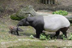 動物園馬來貘寶寶「貘樹」 可愛亮相
