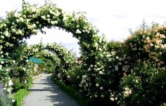 Rose Arches At Mona Vale