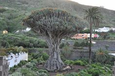 Village of Icod de los Vinos is well known for its wines, but also the millenium dragon tree (Drago Milenario) that is more than 1000 years old! There is a tourist center near the tree where you can learn about its history and history of the area. Once you are there make sure to visit Mariposario del Drago and enjoy the views of the valley.