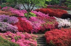 The Punch Bowl Valley Gardens Surrey. Massed terraces of Azaleas in the woodland garden